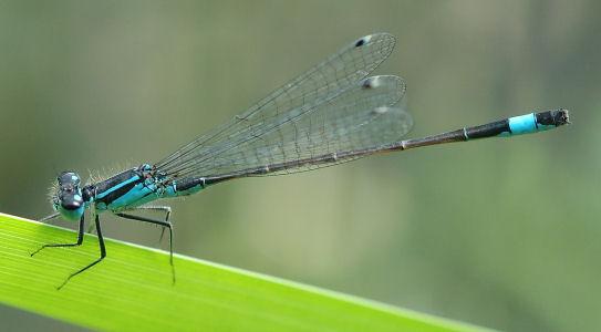 libellemi